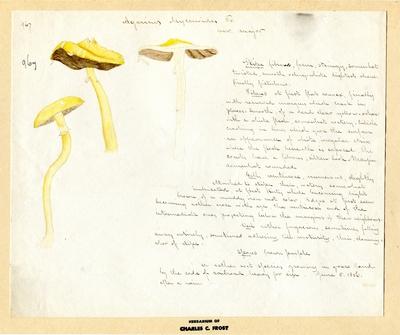 A. Mycenoides