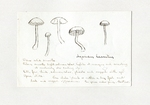 Agaricus laccatus by Charles J. Sprague