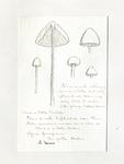 Agaricus tener by Charles J. Sprague